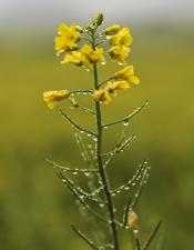 oil seed rape flower in field