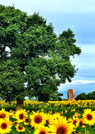 sunflowers rhs