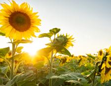 June sunflowers in field
