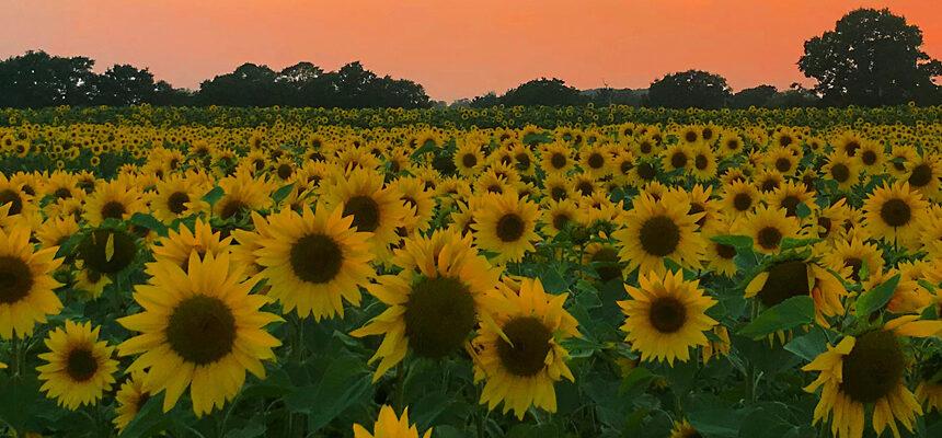 Becketts Sunflower Field!