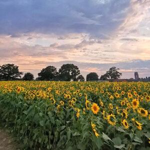 sunflowers in sunset
