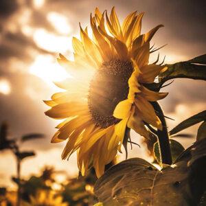 sunflower winner
